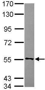 Western blot - CYB5R4 antibody (ab101342)