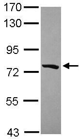 Western blot - PCDHGB5 antibody (ab101343)