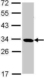 Western blot - SLD5 antibody (ab101346)