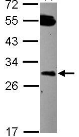 Western blot - DCUN1D2 antibody (ab101364)