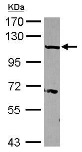 Western blot - Importin 13 antibody (ab101374)