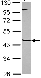 Western blot - TEKT1 antibody (ab101390)