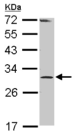 Western blot - RPP30 antibody (ab101395)