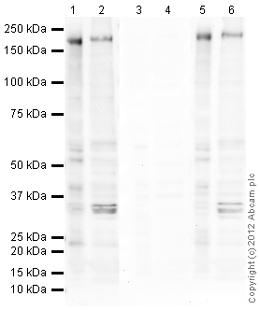 Western blot - Anti-ErbB 3 (phospho Y1289) antibody (ab101407)
