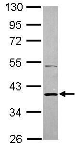 Western blot - SH3GLB2 antibody (ab101434)