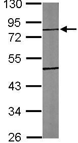 Western blot - TTLL10 antibody (ab101438)