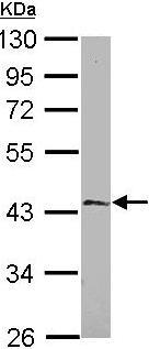 Western blot - EFHA1 antibody (ab101465)