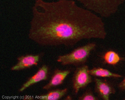 Immunocytochemistry/ Immunofluorescence - OTUB1 antibody (ab101471)