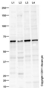 Western blot - Glypican 3 antibody (ab101478)
