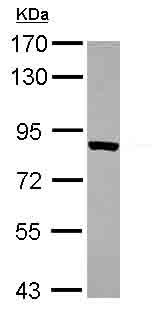 Western blot - TARS antibody (ab101486)