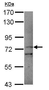 Western blot - PCDHB11 antibody (ab101496)