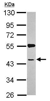 Western blot - SYAP1 antibody (ab101498)