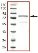SDS-PAGE - CaMKI gamma protein (ab101503)