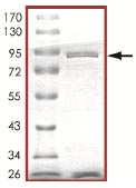 SDS-PAGE - Yes1 protein (ab101504)