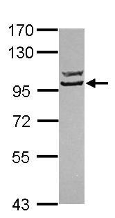 Western blot - Striatin3 antibody (ab101515)
