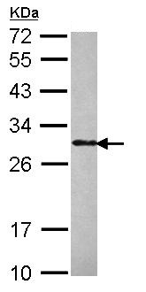 Western blot - Phospho1 antibody (ab101520)