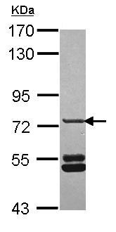Western blot - SNX33 antibody (ab101521)