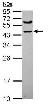 Western blot - SPRYD5 antibody (ab101581)