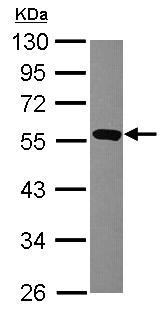 Western blot - AAMP antibody (ab101611)