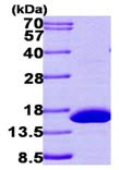 SDS-PAGE - HRSP12 protein (ab101632)
