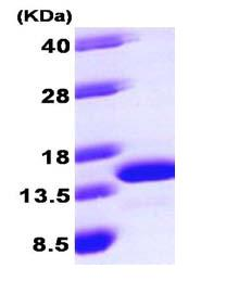 SDS-PAGE - robld3 protein (ab101637)
