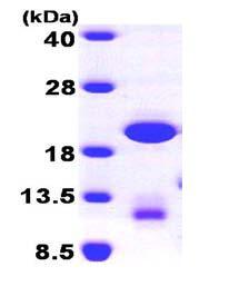 SDS-PAGE - GABARAPL1 protein (ab101641)