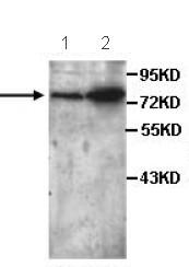 Western blot - P4HA3 antibody (ab101657)
