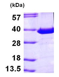 SDS-PAGE - PITPN protein (ab101666)