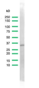 Western blot - Cdk2 antibody [SP80] (ab101682)