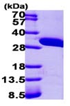 SDS-PAGE - AUH protein (ab101821)