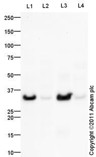 Western blot - HELT antibody (ab101842)