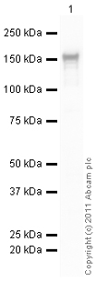Western blot - 19.MMS22L (C6ORF167)  antibody (ab101888)