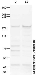 Western blot - Anti-NFKBIL2 antibody (ab101898)