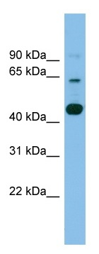 Western blot - TMEM195 antibody (ab101925)