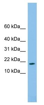 Western blot - FAM19A4 antibody (ab101927)