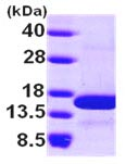 SDS-PAGE - NHP2L1 protein (ab101947)