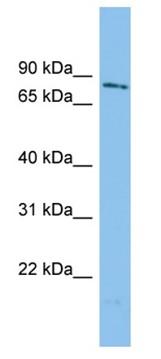 Western blot - WDR49 antibody (ab101963)