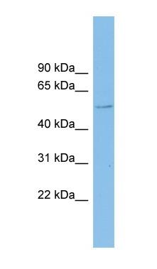 Western blot - CLUL1 antibody (ab101974)