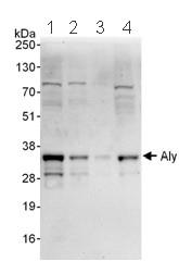 Western blot - Aly antibody (ab101979)