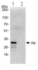Immunoprecipitation - Aly antibody (ab101981)