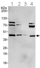 Western blot - Ancient ubiquitous protein 1 antibody (ab101984)