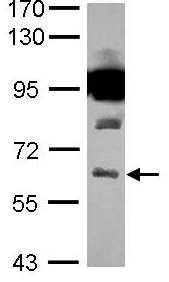 Western blot - SLC32A1 antibody (ab101999)