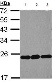Western blot - RPL9 antibody (ab102011)