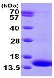 SDS-PAGE - MAP2K1IP1 protein (ab102022)