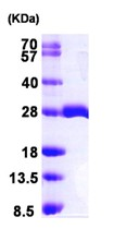 SDS-PAGE - MOBK1B protein (ab102026)