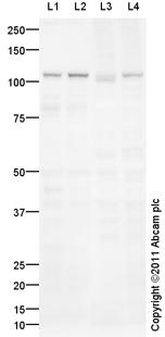 Western blot - Anti-PYK2 antibody (ab102074)