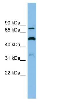 Western blot - SLC26A1 antibody (ab102107)
