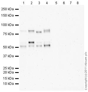 Western blot - Anti-MARCO antibody (ab102124)