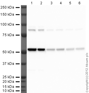 Western blot - Rabbit polyclonal Secondary Antibody to Rat IgG - H&L (HRP) (ab102172)