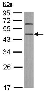 Western blot - WDR4 antibody (ab102471)